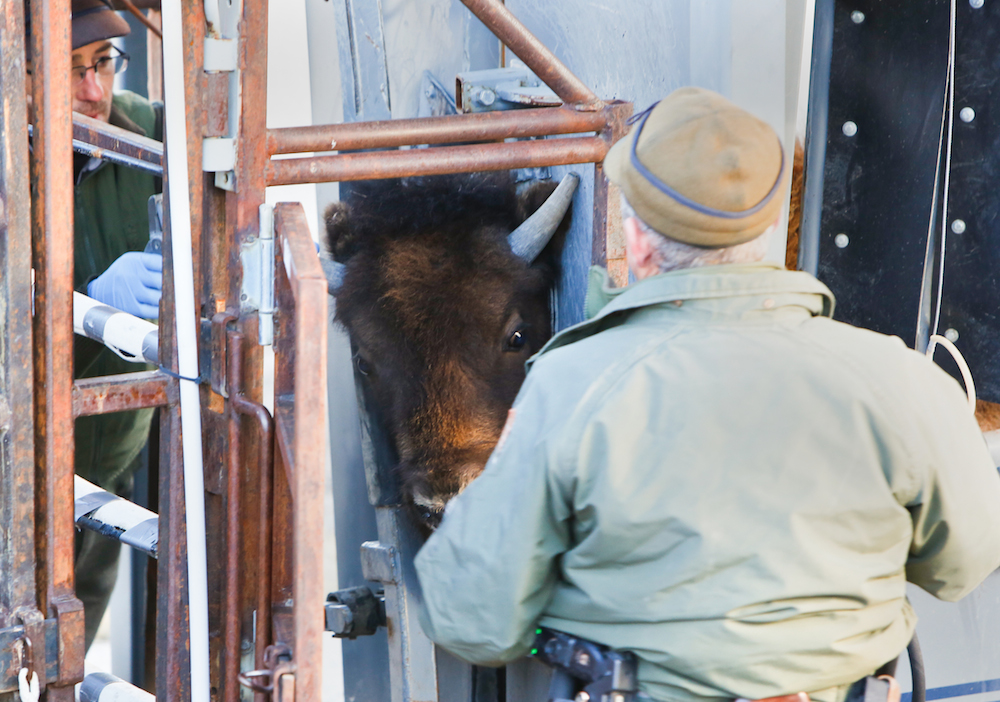 A small, wild Yellowstone bison looks at alien surroundings as a squeeze chute immobilizes it at the national park's Stephens Creek capture corrals. Yellowstone caught 150 bison in the park and shipped most of them last week to slaughter. (Adrian Sanchez-Gonzalez/Bozeman Daily Chronicle/Pool)