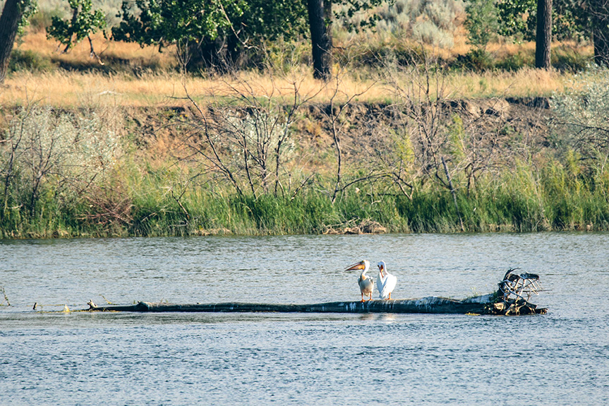 Two pelicans sit on a log floating down the Missouri River near where the Keystone XL pipeline is slated to cross.