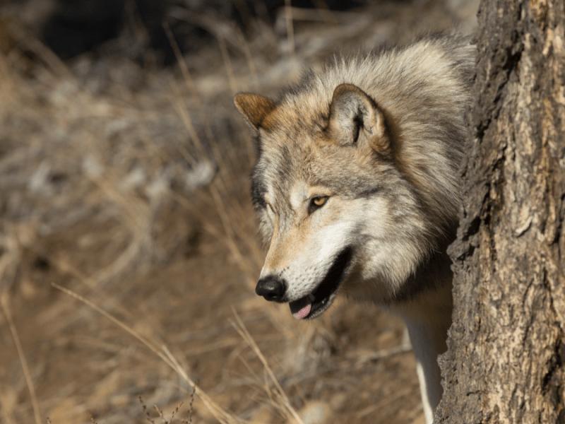 North American Grey Wolf